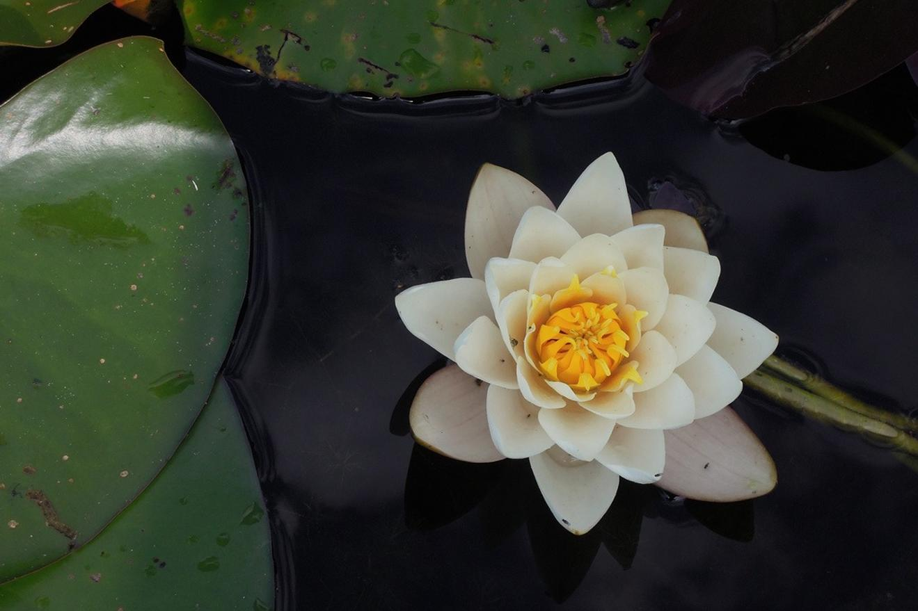 White Flower resting over the water Sara Ventiera