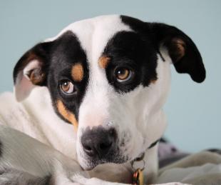 Kiud dog with puppy eyes